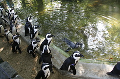 #1707 Black-footed Penguins - Rotterdam Zoo (Holland)