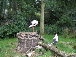#1717 White Storks - Zoo Leipzig (Germany)