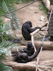 #1731 West African Chimpanzees - Zoo Leipzig (Germany)