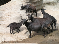#1741 West African Dwarf Goats - Zoo Leipzig (Germany)