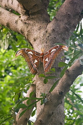 #2290 Atlas Moth - Artis Royal Zoo Amsterdam (Holland)