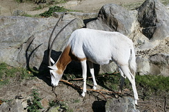 #2304 Scimitar-horned Oryx - Artis Royal Zoo Amsterdam (Holland)