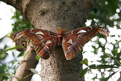 #2308 Atlas Moth - Artis Royal Zoo Amsterdam (Holland)