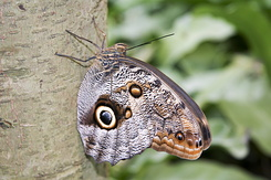 #2310 Owl Butterfly - Artis Royal Zoo Amsterdam (Holland)