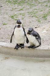 #2317 African Penguins - Artis Royal Zoo Amsterdam (Holland)