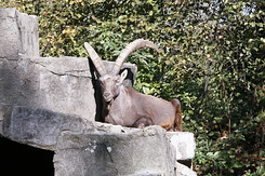 #2319 Alpine Ibex - Artis Royal Zoo Amsterdam (Holland)