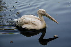 #2323 Great White Pelican - Artis Royal Zoo Amsterdam (Holland)
