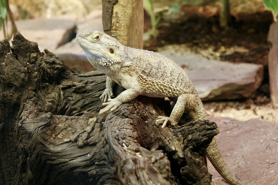 2324 Bearded Dragon - Artis Royal Zoo Amsterdam (Holland