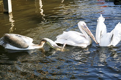 #2333 Great White Pelicans - Artis Royal Zoo Amsterdam (Holland)