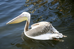 #2334 Great White Pelican - Artis Royal Zoo Amsterdam (Holland)