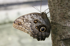 #2353 Owl Butterfly - Artis Royal Zoo Amsterdam (Holland)