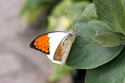 #2383 Great Orange Tip - Artis Royal Zoo Amsterdam (Holland)