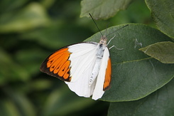 #2384 Great Orange Tip - Artis Royal Zoo Amsterdam (Holland)