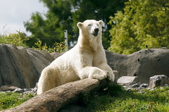 #2673 Polar Bear - Rotterdam Zoo (Holland)