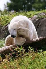 #2674 Polar Bear - Rotterdam Zoo (Holland)