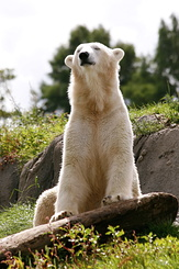 #2675 Polar Bear - Rotterdam Zoo (Holland)