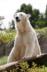 #2676 Polar Bear - Rotterdam Zoo (Holland)
