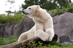 #2677 Polar Bear - Rotterdam Zoo (Holland)