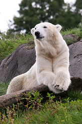 #2678 Polar Bear - Rotterdam Zoo (Holland)