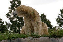 #2681 Polar Bear - Rotterdam Zoo (Holland)