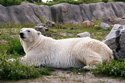 #2683 Polar Bear - Rotterdam Zoo (Holland)