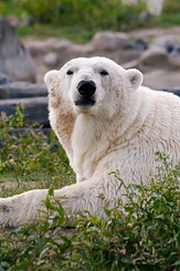 #2684 Polar Bear - Rotterdam Zoo (Holland)