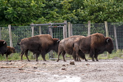 #2685 Bisons - Rotterdam Zoo (Holland)