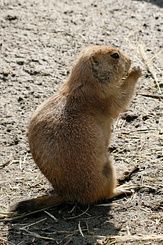 #2686 Black-tailed Prairie Dog - Rotterdam Zoo (Holland)