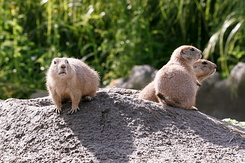 #2688 Black-tailed Prairie Dogs - Rotterdam Zoo (Holland)