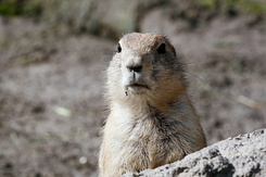 #2690 Black-tailed Prairie Dog - Rotterdam Zoo (Holland)