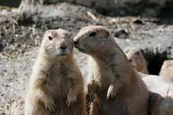 #2692 Black-tailed Prairie Dogs - Rotterdam Zoo (Holland)