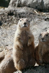 #2693 Black-tailed Prairie Dogs - Rotterdam Zoo (Holland)