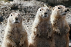 #2694 Black-tailed Prairie Dogs - Rotterdam Zoo (Holland)