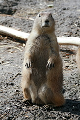 #2695 Black-tailed Prairie Dog - Rotterdam Zoo (Holland)