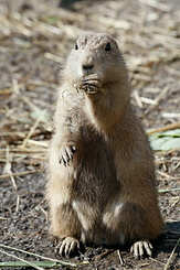 #2696 Black-tailed Prairie Dog - Rotterdam Zoo (Holland)