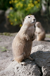 #2699 Black-tailed Prairie Dogs - Rotterdam Zoo (Holland)