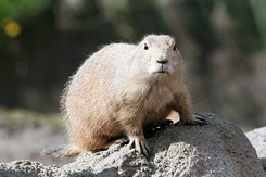 #2700 Black-tailed Prairie Dog - Rotterdam Zoo (Holland)