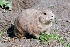 #2703 Black-tailed Prairie Dog - Rotterdam Zoo (Holland)