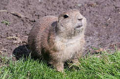 #2704 Black-tailed Prairie Dog - Rotterdam Zoo (Holland)