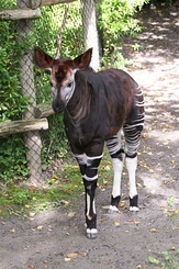 #2714 Young Okapi - Rotterdam Zoo (Holland)