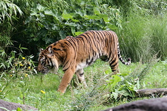 #2716 Sumatran Tiger - Rotterdam Zoo (Holland)