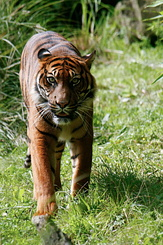 #2717 Sumatran Tiger - Rotterdam Zoo (Holland)