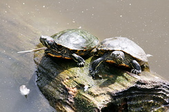 #2721 Red-Eared Sliders - Rotterdam Zoo (Holland)