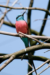 #2736 Northern Carmine Bee-eater - Rotterdam Zoo (Holland)