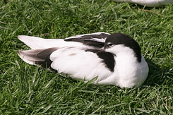 #2737 Pied Avocet - Rotterdam Zoo (Holland)