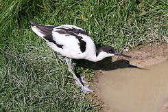 #2738 Pied Avocet - Rotterdam Zoo (Holland)