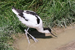 #2739 Pied Avocet - Rotterdam Zoo (Holland)