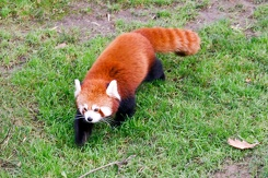 #3417 Red Panda - Dublin Zoo (Ireland)