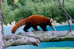 #3418 Red Panda - Dublin Zoo (Ireland)
