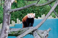 #3419 Red Panda - Dublin Zoo (Ireland)